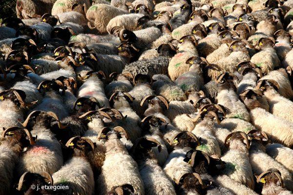 15-ardiak-oveja-latxa