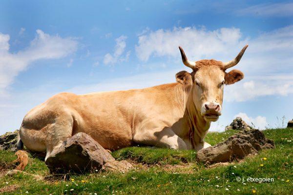 19-behigorria-vaca-pirenaica-cronlech