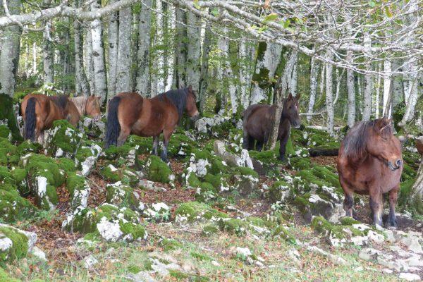 caballo burguetan