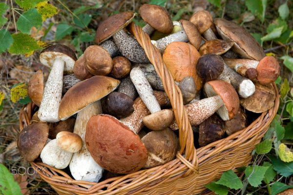 full basket of fresh autumn mushrooms (Boletus scaber, aurantiacus, edulis).